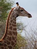 African Giraffe Savanna