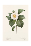Botanical Drawing of White Camellia Flower