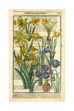 Daffodils  Narcissus  and Jonquils