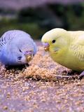 Eating Budgie Bird Wildlife