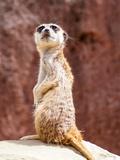 African Meerkat Animal