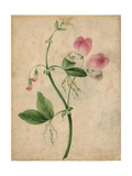 Pink Sweet Pea Flower with Vine on Texture