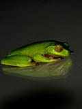 Green Reptile Frog