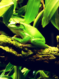 Green Wildlife Frog Animal Reproduction d'art par Wonderful Dream