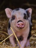 Farm Animal Pig Reproduction d'art par Wonderful Dream