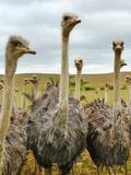 Ostrich Australian Bird