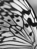 Flutter Giclée par Ella Lancaster