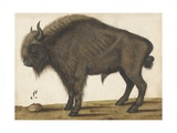 Bison  by an Anonymous Artist  Copied from Albrecht Durer  1560-85  Dutch Drawing  Ink  Paper