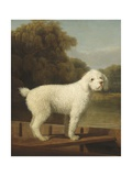 White Poodle in a Punt  1780