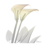 Sunday Morning Calla Lily