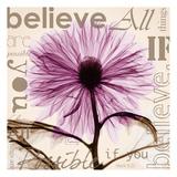 Chrysanthemum Believe