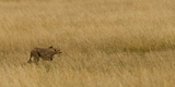 Cheetah (Acinonyx Jubatus) Stalking Prey  Maasai Mara National Reserve  Kenya