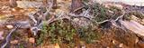 Manzanita Clings to Life Along the Mogollon Rim  Coconino National Forest  Arizona  USA
