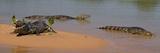 Close-Up of Three Yacare Caiman (Caiman Yacare) in a River