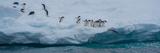 Adelie Penguins (Pygoscelis Adeliae) on Iceberg  Antarctica