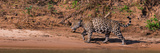 Jaguar (Panthera Onca) Walking in a Forest at Riverside  Cuiaba River