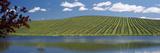 Vineyard Near a Lake  Napa County  California  USA