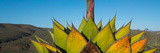 Close-Up of Agave Plant  Baja California  Mexico