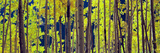 Aspen Trees in a Forest  Colorado  USA