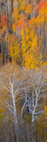 Aspen Trees in a Forest  Boulder Mountain  Grand Staircase-Escalante National Monument  Utah  USA