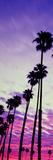 Silhouette of Palm Trees at Sunrise  Santa Barbara  California  USA