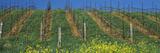 Mustard and Vine Crop in the Vineyard  Napa Valley  Napa County  California  USA