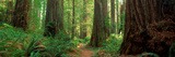 Coastal Sequoia Trees in Redwood Forest in Northern California  USA