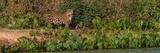 Jaguar (Panthera Onca) Walking in a Forest  Cuiaba River  Pantanal Matogrossense National Park