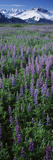 Lupine Flowers in Bloom  Turnagain Arm  Alaska  USA