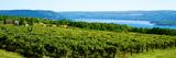Grape Vineyards in Finger Lake Region  New York State  USA
