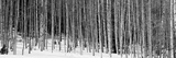 Aspen Trees in a Forest  Chama  New Mexico  USA