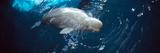 Beluga Whale (Delphinapterus Leucas) in an Aquarium  John G Shedd Aquarium  Chicago