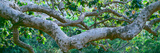 Detail of Sycamore Tree in a Forest  Point Mugu State Park  California  USA