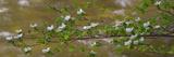 Close-Up of Dogwood Flowers  Merced River  Yosemite National Park  California  USA