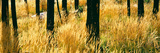 Dry Autumn Grasses Turn a Yellow Hue in a Stand of Burned Lodgepole Pines  Buffalo Valley