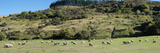 Sheep Grazing in Pasture Along Cardona Valley Road  Queenstown Lake District  Otago Region
