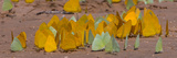 Close-Up of Butterflies at Riverbank  Cuiaba River  Pantanal Wetlands  Brazil
