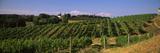 Vineyard at Old Mission Peninsula  Michigan  USA