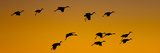 Silhouette of Sandhill Cranes (Grus Canadensis) Flying in the Sky at Sunrise