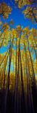 Low Angle View of Aspen Trees  Colorado  USA