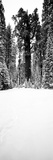 General Sherman Trees in a Snow Covered Landscape  Sequoia National Park  California  USA