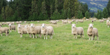 Sheep in Pasture  Paradise Valley  Queenstown Lake District  Otago Region  South Island