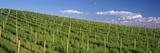 Vineyard  Napa County  California  USA