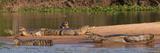 Yacare Caimans (Caiman Yacare) in a River  Pantanal Matogrossense National Park