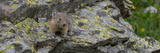Close-Up of Pika (Ochotona Princeps) on Rock  Yankee Boy Basin  Uncompahgre National Forest