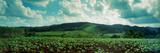 Tobacco Fields in Vinales Valley  Vinales  Cuba