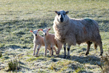 Ewes and Lambs at Springtime on the Mynydd Epynt Range  Powys  Wales  United Kingdom  Europe
