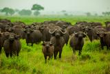 Water Buffalo Standoff on Safari  Mizumi Safari Park  Tanzania  East Africa  Africa