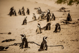 Cape African Penguins  Boulders Beach  Cape Town  South Africa  Africa