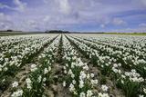 A Field of Daffodils in Bloom  Norfolk  England  United Kingdom  Europe